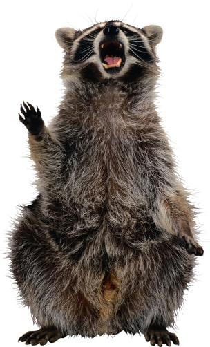 Fight Raccoon/Squirrel Invasion and Identify Damage to Duct Vents